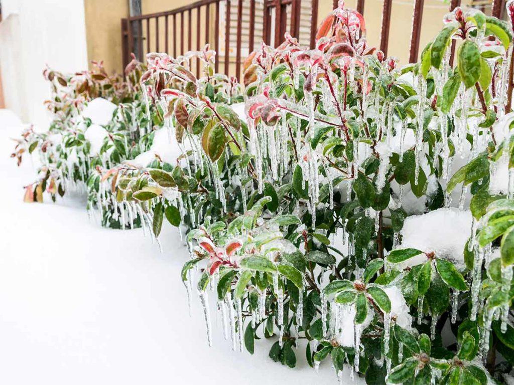 zmrznutý zahradní květiny