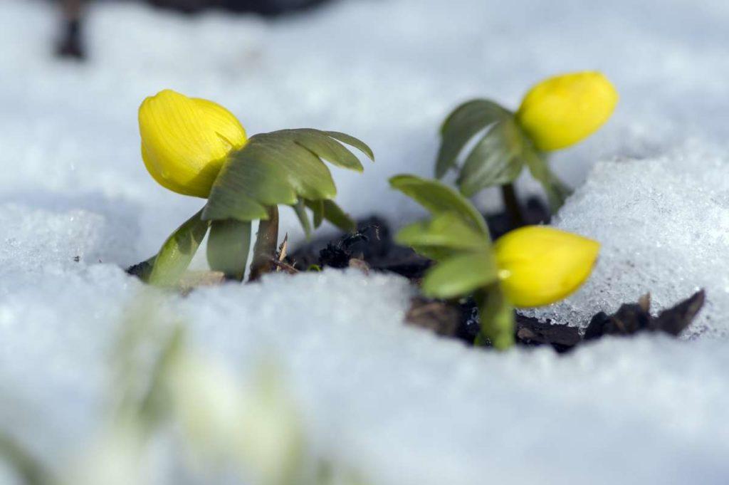prvé jarné kvietky trčiace zo snehu