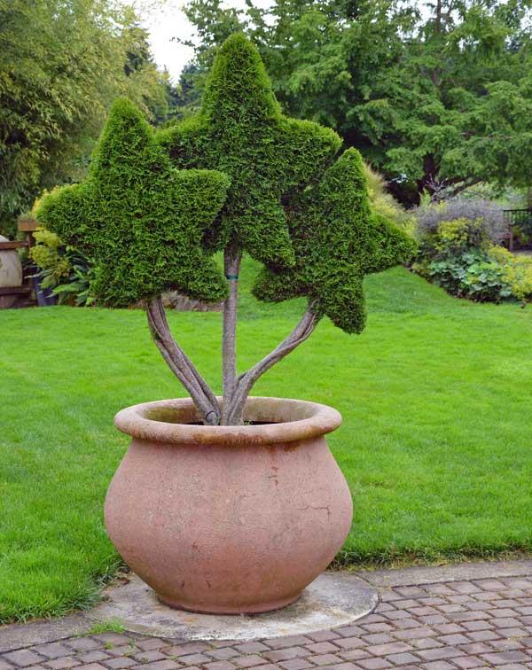 zahradní zelí ve tvaru hvězd
